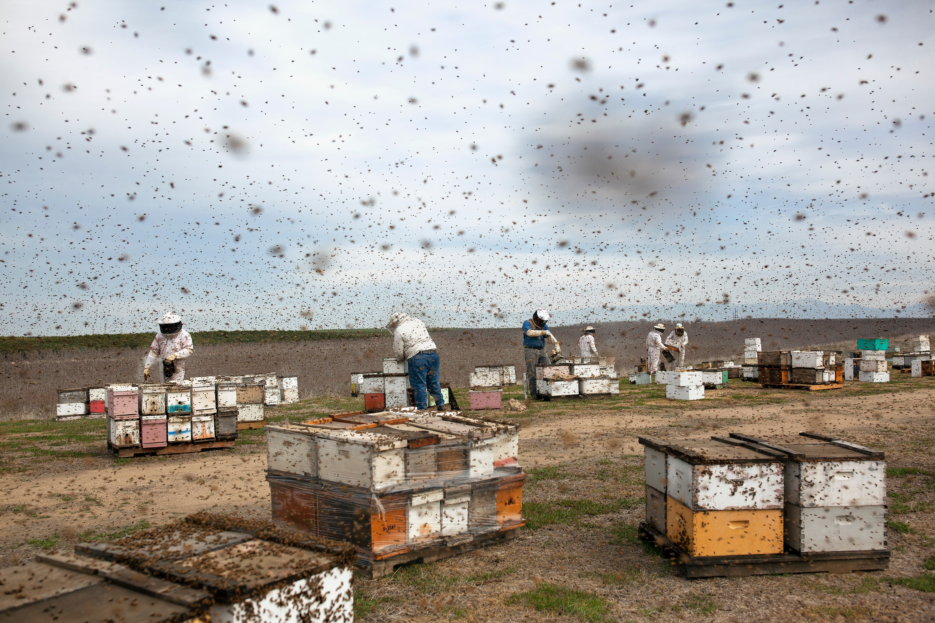 A photograph of beekeepers working in a field, surrounded by boxes and swarms of bees.