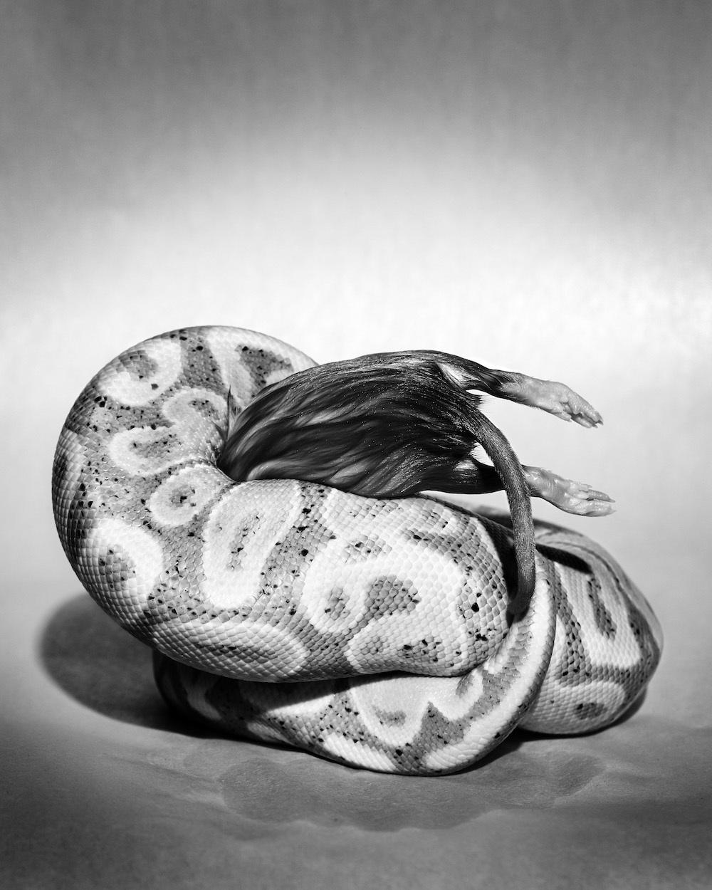 Casanova Cabrera (BFA 2018 Photography and Video), <em>Sculpture I (Banana Constricting Rat)</em>, 2016, archival inkjet print.